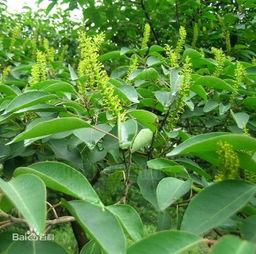 花与树影评-南烛:杜鹃花科,越橘属常绿灌木或小乔木,高可达9米;分枝多,老...