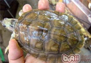 龟有几种-红冠棱背龟数量稀少,是重点保护的龟种,市面上鲜有红冠棱背龟出售...