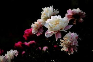 芍儿花-赞 芍 药 花