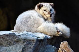孟加拉狐-食肉目犬科动物狐狸多少钱一只 吃什么长大的 养一只一年大约赚多少钱