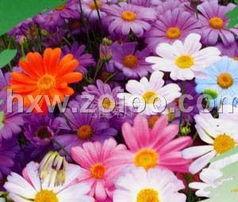 五色菊种子