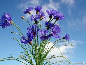 这个蓝色的花叫什么名字