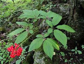 人参原植物(人参叶片为5片小叶组成一片掌状复叶,图片为