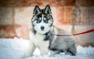 哈士奇狗的名字