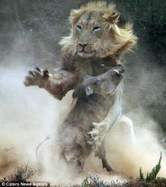 误入逃亡-狭路相逢 疣猪误入狮穴遭残杀成腹中餐