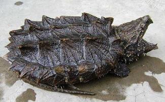 乌龟有几种品种图片-乌龟的种类有哪些