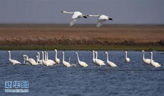 ...大批候鸟从北方南飞抵达洞庭湖区,其中一部分候鸟将在洞庭湖区...