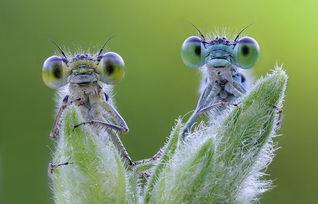 花荫露- 两只蜻蜓在毛茸茸的植物芽尖上露出圆鼓鼓的大眼睛.(网页截图) ...