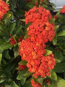 这叫什么植物 春夏秋冬开红色花朵,一簇簇,广东长绿灌木