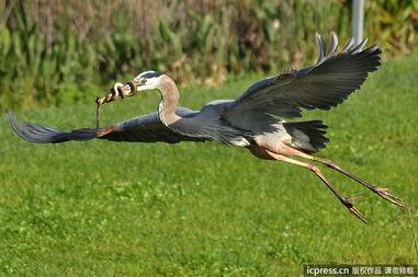 ...拍到搞笑又难得的一幕,一只饥饿的蓝鹭在沼泽地迅速捕捉到了一...