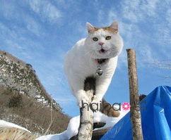 ...从不睁眼 日本超级明星宠物 篮子猫 可爱美图回顾之 爬树睁眼 吐舌打...