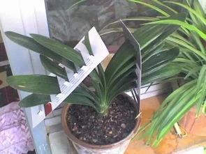 家里的君子兰叶子歪歪扭扭,用小夹子和纸片纠正