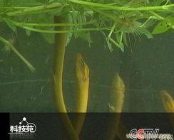 黄鳝养殖,黄鳝养殖技术,黄鳝的做法,养黄鳝