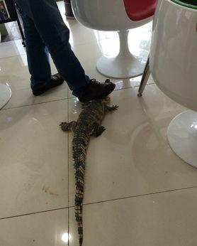 脚刑钉脚趾老虎凳硬- 网上热传的办公室出现鳄鱼图 鳄鱼,爬行动物,食肉动物.有血盆大...