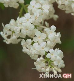 关于丁香青海民间有这样一个传说故事:-五月的西宁 满城皆开丁香花
