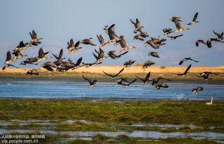 ...近日,大批候鸟迁徙到我国第一大淡水湖鄱阳湖自然保护区越冬,呈...