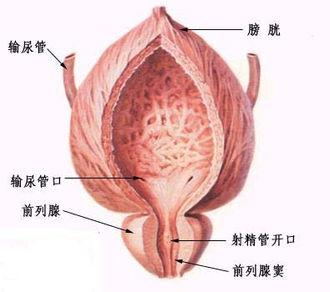 列腺位置:位于膀胱颈的下方、包绕着膀胱口与尿道结合部位,尿道的...