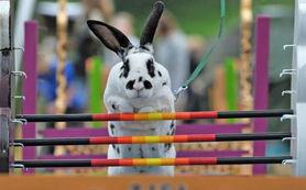 因为岛上有许多兔子栖息而吸引了不少游客.据说这些兔子是在二战时...