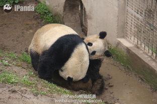 ...首播大熊猫自然交配全过程