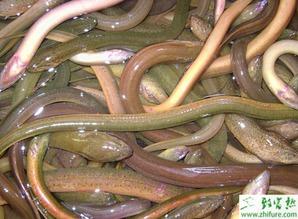 冬天怎么养黄鳝 有哪些需要注意的