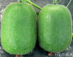 淡绿色的白瓤,种子小小的,不像... 冬瓜炖虾皮粉条,炖到最后冬瓜透...