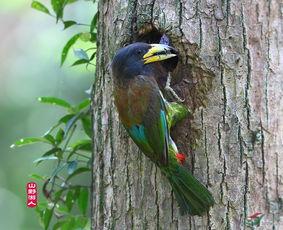 大拟啄木鸟的故事 系列一