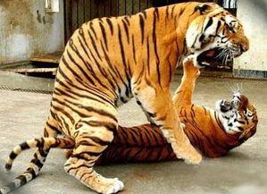 罕见的老虎交配全过程