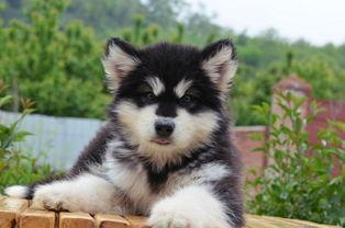 无锡纯种宠物犬标准泰迪犬多少钱白色贵宾狗多少钱