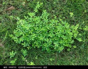 一片绿色的鸡眼草高清图片下载 红动网