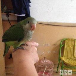 转让可爱小绿和尚鹦鹉