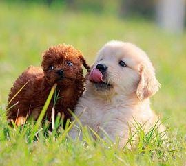 如何训练金毛犬
