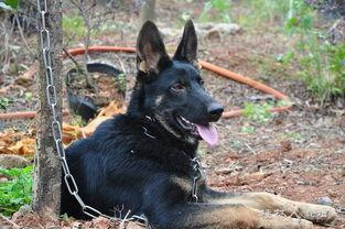 出售东德牧羊犬 黑豹 ..6个月大..太极色..母...