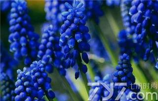 风信子的花语是什么 不同颜色风信子代表的寓意