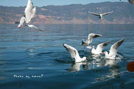 成群的红嘴鸥,一路追随着我们……-冬日泸沽湖