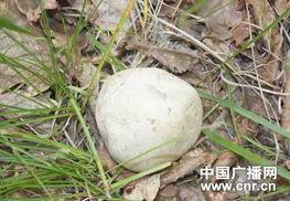 ...古村民发现球形蘑菇似小馒头 重约半斤