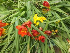 我家有种夏天枯萎冬天开花的兰花请问是什么花啊