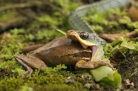 ...黎加阿雷纳尔,一条蛇将一只树蛙吞掉.-摄影师拍下 贪吃蛇 活吞树...