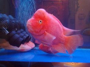 财神鱼图片 财神鱼怎么养
