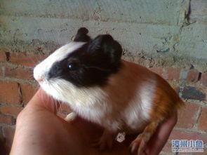 天竺鼠,豚鼠,荷兰猪出售