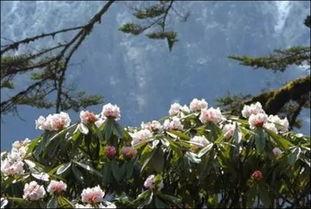 花与血的旅途-海螺沟景区是世界上最负盛名的高山花卉原产基地.一处山花、一处烂...