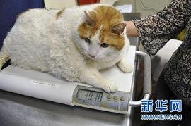 艹猫0补丁krkr2-4月19日,在美国圣菲动物收容所,2岁大的肥猫
