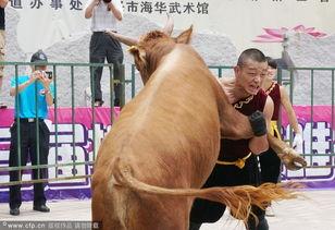 日本武士牛-中国式斗牛比赛 勇士徒手摔翻牛