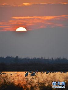 12月28日,鄱阳湖畔南昌县五星垦殖场境内栖息的候鸟在觅食.-江西...