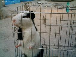 出售天竺鼠