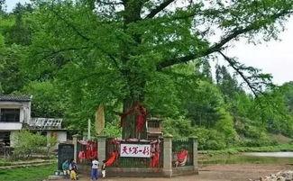 ...生长着一棵古老沧桑、龙骨虬枝、高大挺拔的水杉树,树高35米,...