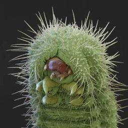 人蚤幼虫世界上最恐怖的花-人蚤幼虫