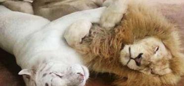 ...拉斯瓦蒂的雌性白虎在狮穴里打盹的时候?-动物园 大猫 拥抱打盹萌翻...