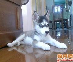 哈士奇犬 未命名2.bmp