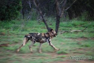 色狗狗-内容摘要: 一群饥饿豺狗瞄上了落单的羚牛对其发起了疯狂的攻击....