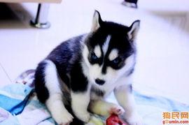 哈士奇犬 未命名